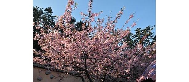 早春のお花見を満喫しよう
