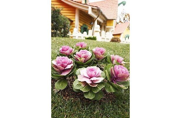 葉牡丹などミニーの大好きなピンク色の花が家の周りを彩る