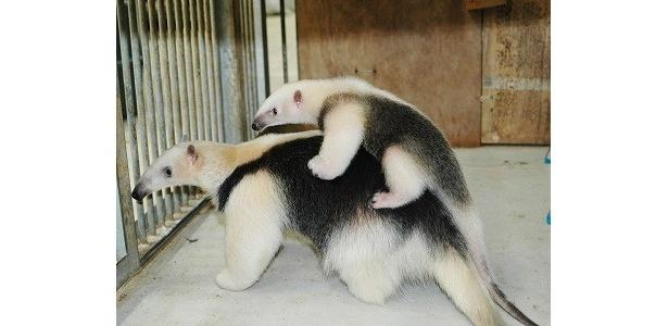お母さんにおんぶされている、ミナミコアリクイの赤ちゃん