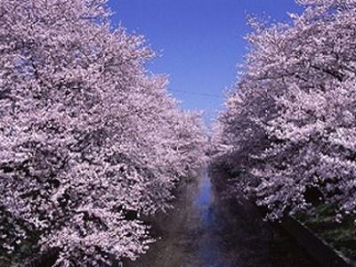 5位の五条川はソメイヨシノ、枝垂れ桜、ヤエザクラなど約1400本もの桜が咲き誇る