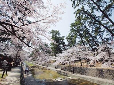 7位の夙川公園はソメイヨシノを中心に約1660本の桜が一斉に開花