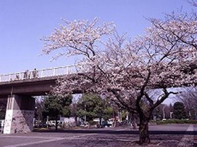 8位の代々木公園は超高層ビル群をはじめ都心の風景を背景に桜の花が楽しめる
