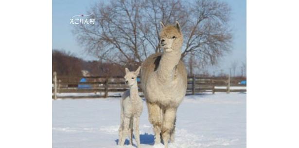左は、今回誕生したアルパカの赤ちゃん(その1)。右は、お母さんアルパカの2歳のクー