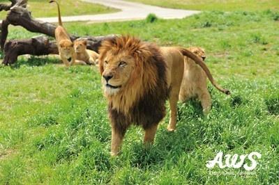 ライオンにも接近できる迫力あるツアーも好評!