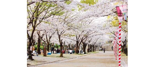 現在、桜は満開に咲くところが多く、中継する日も数多くのお花見客でにぎわうはず!写真は大阪城公園