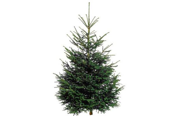 IKEA港北で08年11/19より発売した「Noble Fir もみの木」