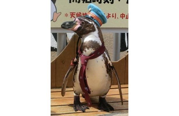 伊豆急下田駅にペンギン駅長が登場。こちらは優しいやまちゃん!