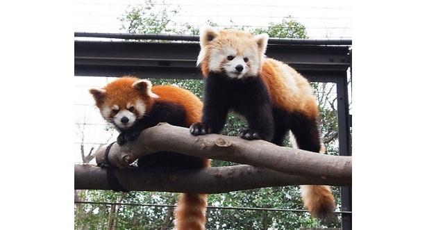 性格は正反対ながらも仲の良い、シセンレッサーパンダのファファ(左)とアン(右)