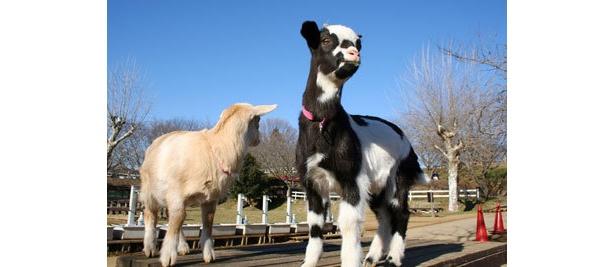 人気の牛柄ヤギ「うしかちゃん」