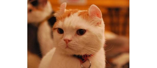 「ねこカフェみけ 川崎店」看板ネコの白太郎です