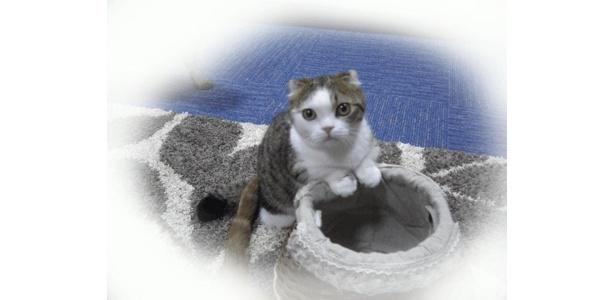 「猫カフェ れおん」のレオン店長(マンチカン・7ヶ月)はしっかり者です