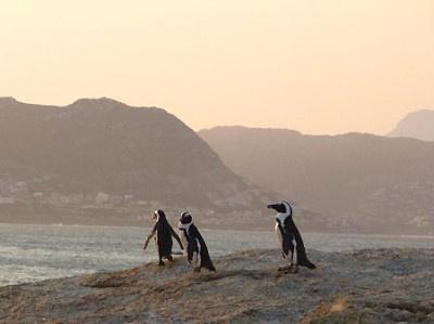 【写真を見る】南アフリカの「ボルダーズビーチ」ではペンギンたちと泳ぐことも!