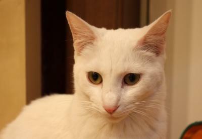 美ネコのコジちゃんは毛並みも豊か(にゃんころ)
