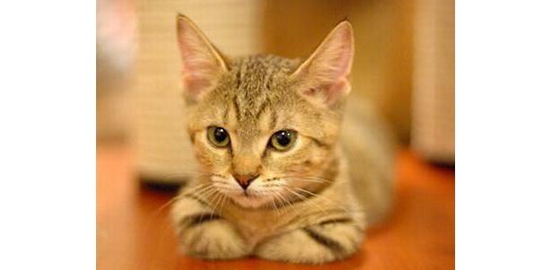 マンチカンのポコちゃんは、少しすました表情(Cat Cafe きゃりこ)