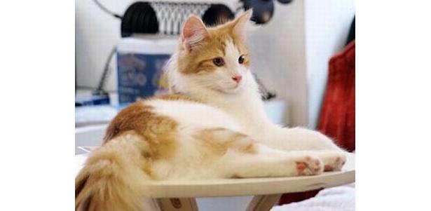 ふっくらした体が魅力のみかんちゃん(Cat Cafe きゃりこ)