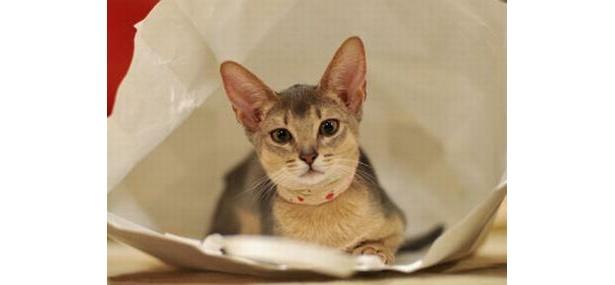 アビシニアンのアリスちゃんはとがった耳がスマート(Cat Cafe きゃりこ)
