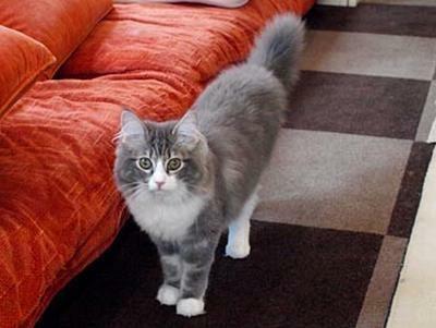 ショコラちゃんはグレーの毛並みがかわいい(Cat Cafe きゃりこ)