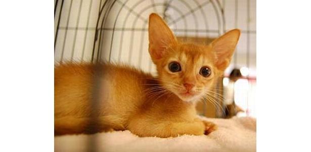 ちょっぴり人間っぽい顔立ちの小麦ちゃんはアビシニアン(Cat Cafe きゃりこ)