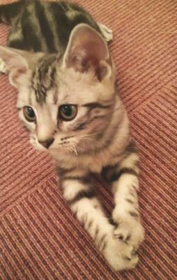 セサミンくんは猫カフェでは珍しい男の子。美ネコです(コッコラーレ)