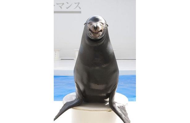 人気者の「笑うアシカ」