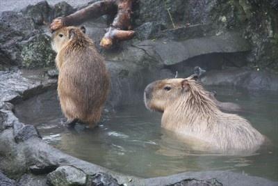 冬の風物詩「元祖カピバラの露天風呂」が伊豆シャボテン公園で開催