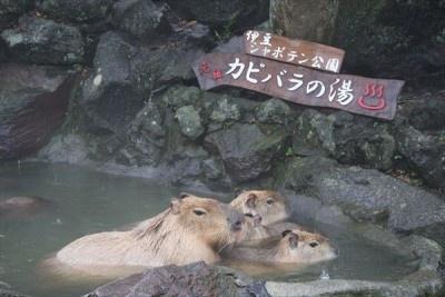 【写真を見る】子カピバラは、親カピバラやお兄ちゃんカピバラと一緒に気持ち良さそうに入浴!