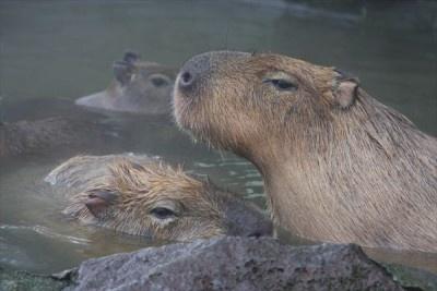 カピバラ一家は仲良く入浴