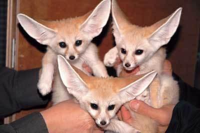 ぴんとした耳ととくりっとした目がかわいい〜!三つ子のフェネック(東京都井の頭自然文化園)