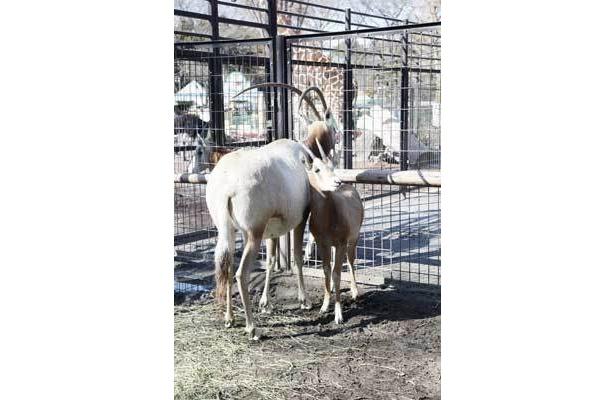 シロオリックスの赤ちゃんは、ちっちゃな角に注目(羽村市動物公園)