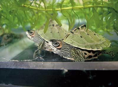 希少なインドセタカガメは、06年に同園で初めて人工繁殖に成功した(横浜市立野毛山動物園)