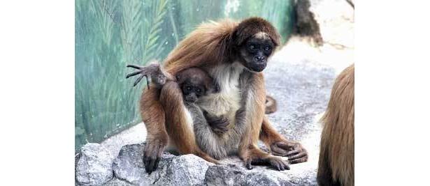 ケナガクモザルのナミちゃんは、ママにべったり(江戸川区自然動物園)