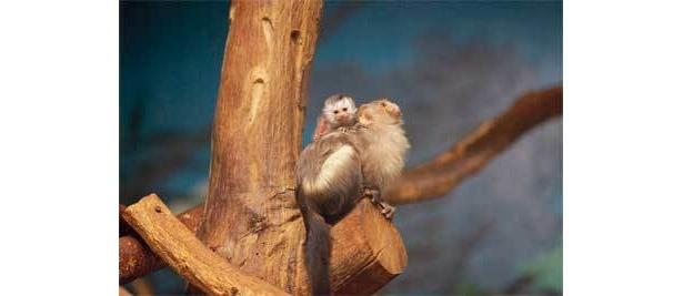 お正月生まれのめでたいオグロマーモセットの赤ちゃん。お父さんの背中がお気に入り(千葉市動物公園)