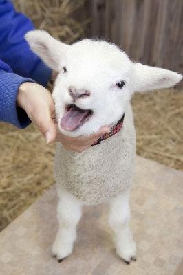 ふわふわの癒し系!羊の ... : 羊 かわいい 写真 : すべての講義
