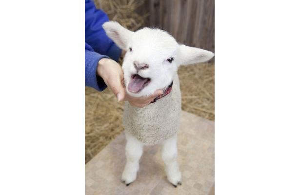 かわいい羊の赤ちゃんとふれあえるチャンス!