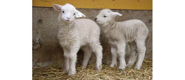 2から3月は羊の赤ちゃんラッシュ
