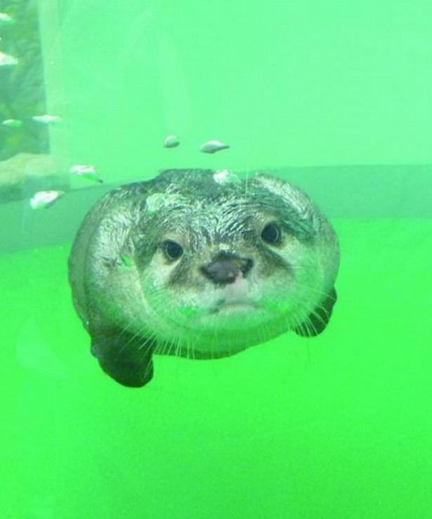 京急油壺マリンパークではタイミングが良ければコツメカワウソが泳ぐ姿を見ることもできる