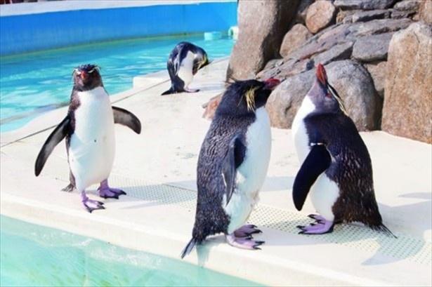 京急油壺マリンパークには可愛いキタイワトビペンギンもいる