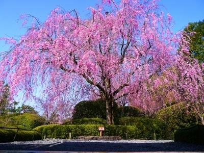 春の池泉回遊式庭園「余香苑」の紅しだれ桜(イメージ)