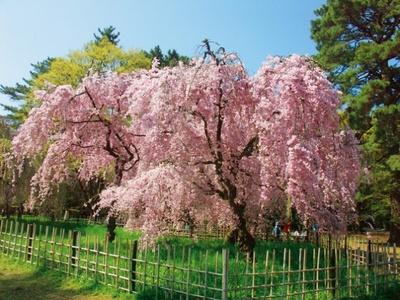 観光客を魅了する京都御苑のシダレザクラ