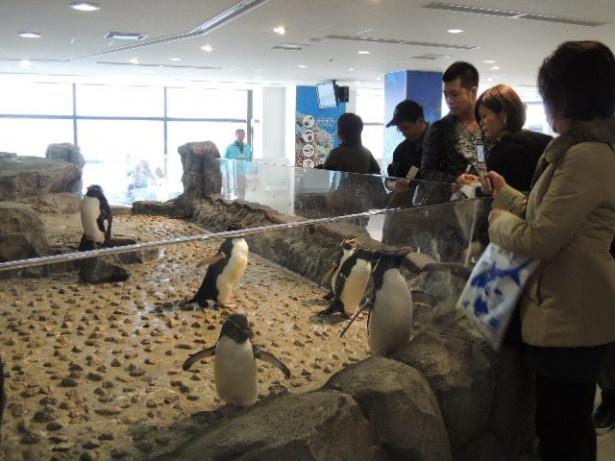 手を伸ばせば届きそう!イワトビペンギンの動きに、表情に注目