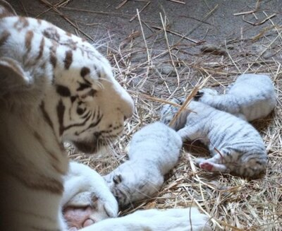 東武動物公園で初めて誕生したホワイトタイガーの赤ちゃん