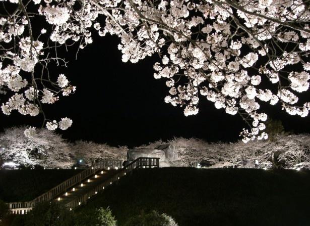 石舞台古墳 夜桜ライトアップ(明日香村)
