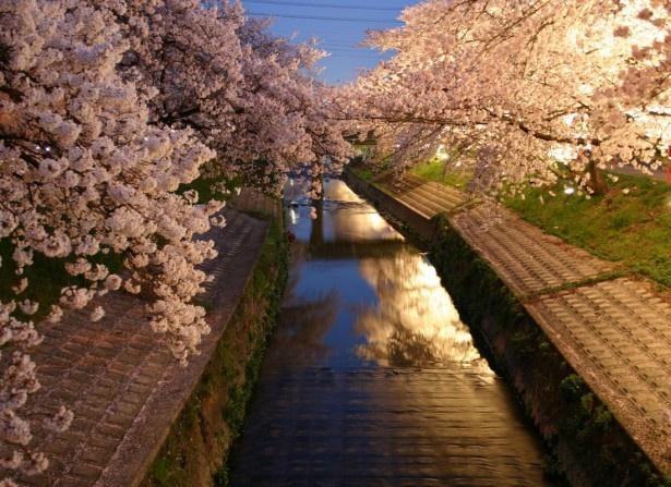 高田千本桜のライトアップ(大和高田市)