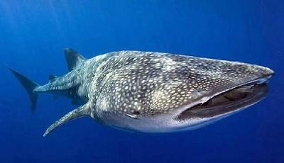 タオ島ではジンベエザメやウミガメを間近で見ることができる