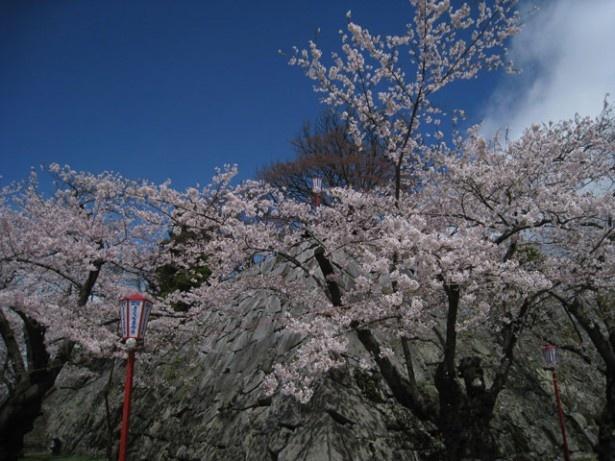 新宿御苑の桜も今まさに満開を迎えている