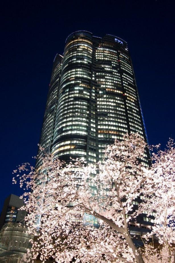 六本木ヒルズは夜桜が美しい。会社帰りに立ち寄りたい