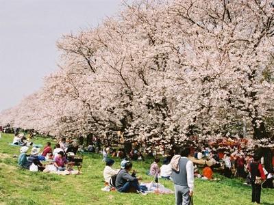 熊谷桜堤の桜も満開