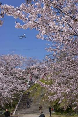 福岡の名所、西公園もまだまだ美しい桜が楽しめる