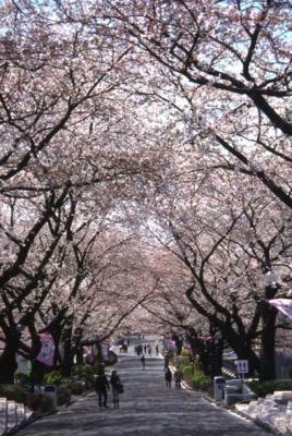 長さ270mの桜並木は、テーブルがあってお花見にぴったり