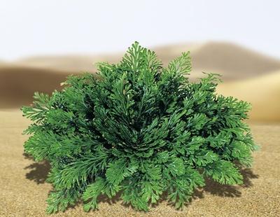 """""""奇跡の植物""""や""""復活草""""とも呼ばれるローズ・オブ・ジェリコの抽出成分配合シャンプーが登場"""